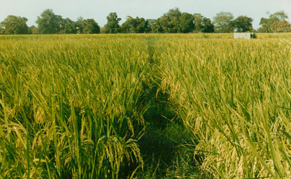 A Field of Rice Grown with Perlite (India)
